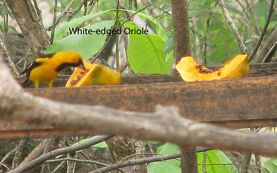 SW Ecuador and NW Peru.  At the feeders with Yellow-tailed Orioles (common from Mexico to its southern limit in Ecuador.