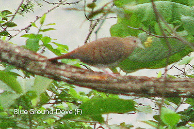 Female Blue Ground-Dove.