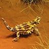 Thorny Devl at Alice Springs Desert Park