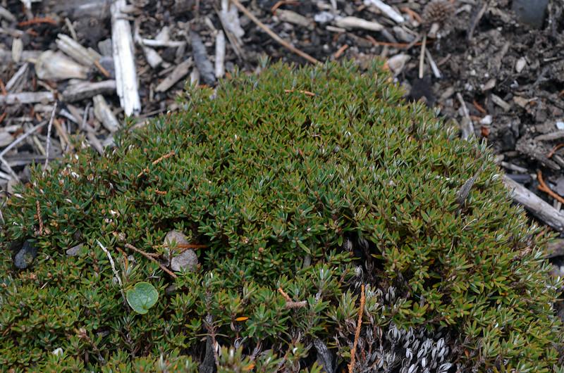 Androstoma verticillata
