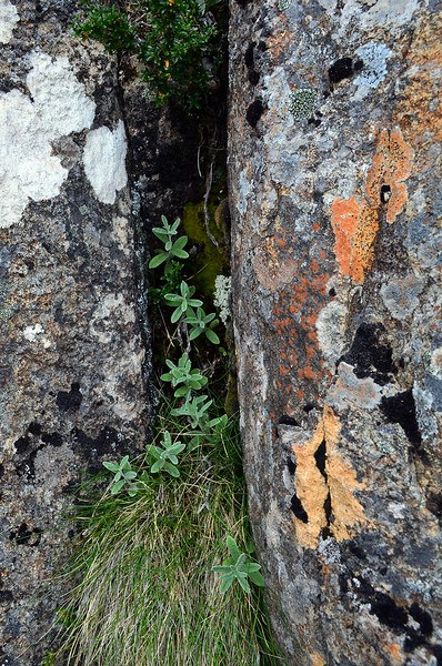 Crevice Plants on Mount Wellington