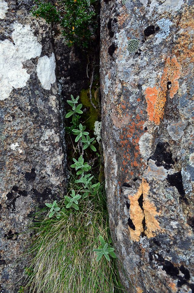 Crevice Plants on Mount Wellington