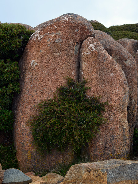 Crevice plants, Mount Wellington