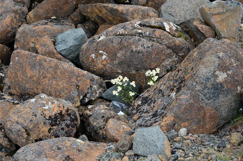 Helichrysum baxterii