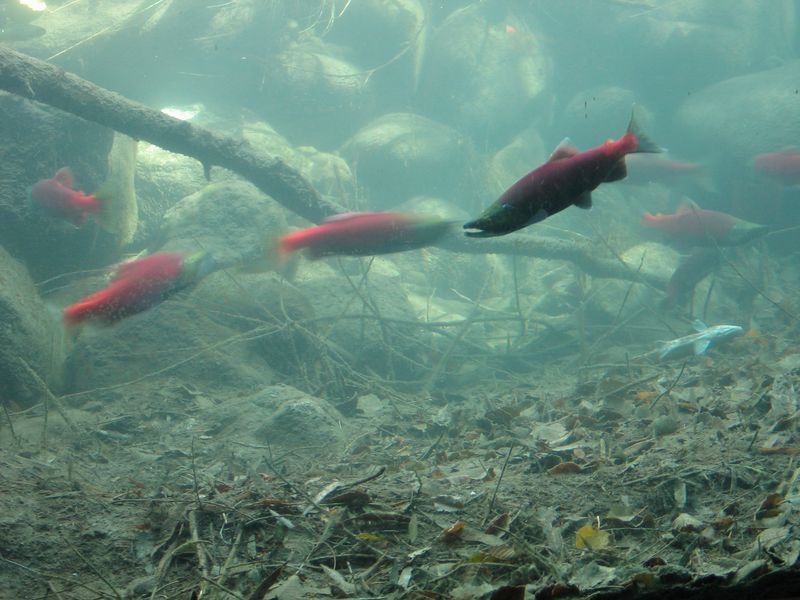 A male on the right. You can tell by his hooked mouth. These are Kokanee Salmon.