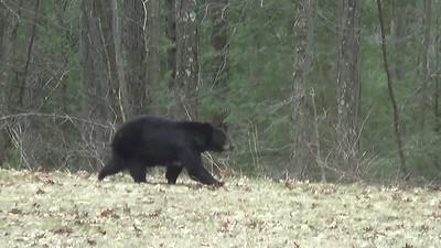 4/15/18 bear