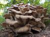 Lyophyllum decastes or fried chicken mushroom