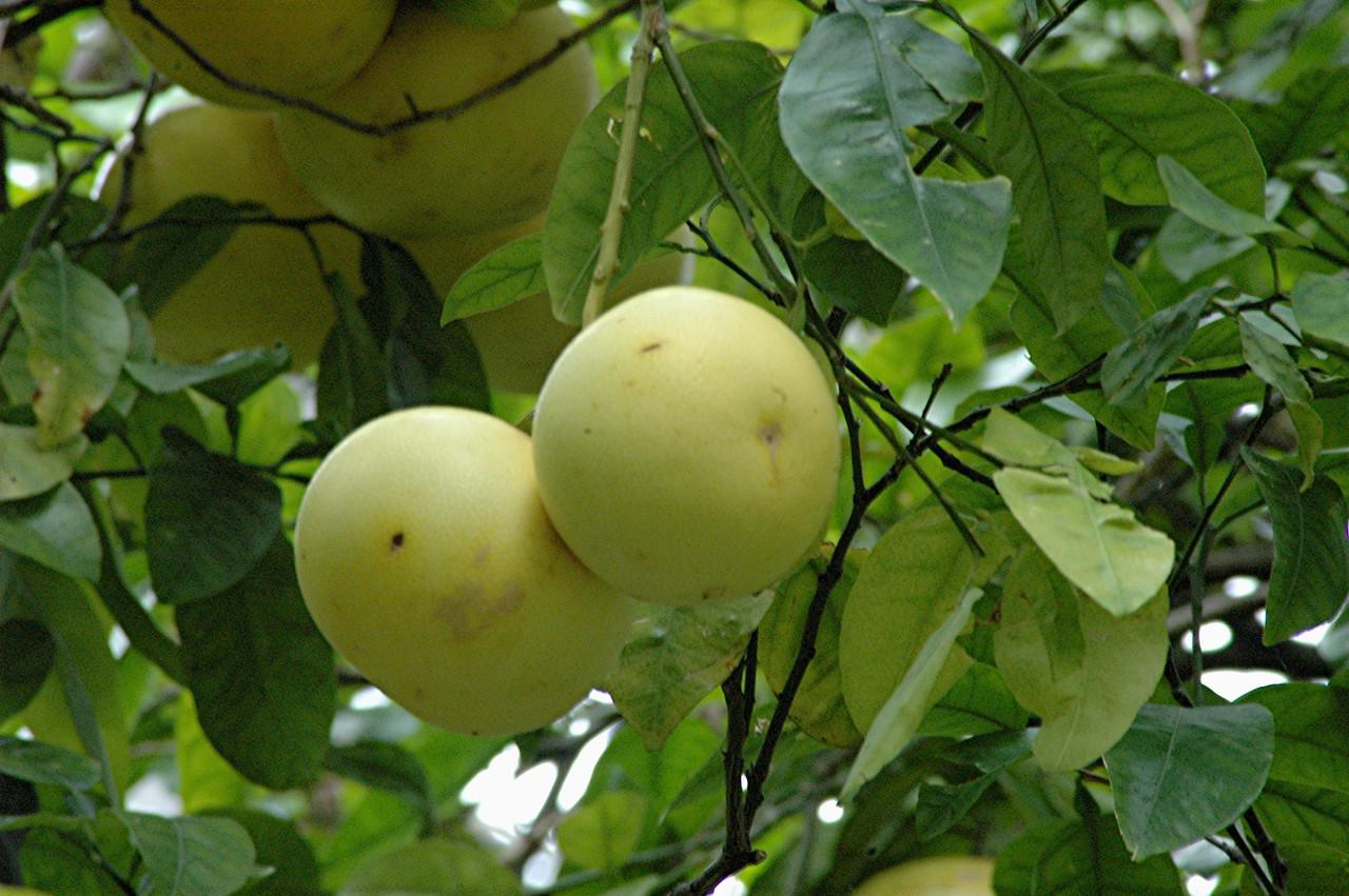 reife grapefruit in grossen mengen fanden wir hier - einige aufgehoben, sie schmeckten herrlich.
