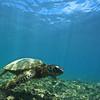 swimming with the hawaiian sea turtle, Chelonia mydas