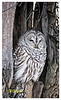 018 Sigma Test 122511. Lilydale Boat Ramp. Tripod. Barred Owl. My brother Jim and I took pictures of this little guy in the same tee hollow last winter. Note that these were taken with a Nikon D90, so the listed focal length has to be multiplied by a factor of 1.5 to get the 35mm equivalent FOV.