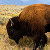 Brenda's picture of a Bison