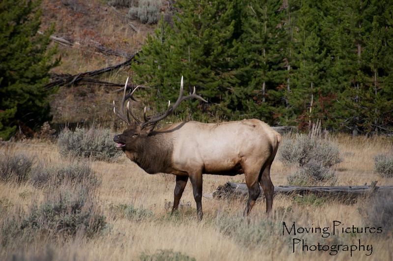 Yellowstone NP - bugling elk
