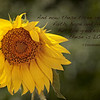 Sunflower - 1 Corinthians 13:13