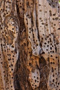 Old piece of oak w/ woodpecker holes