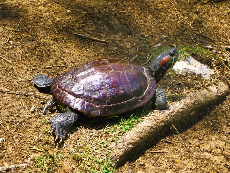 unknown pond turtle