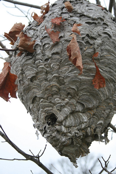 Giant wasp nest