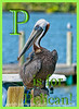 P is for Pelican!