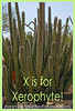 X is for Xerophyte!