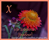 X is for Xeranthemum!