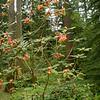 Rhododendron cinnabarinum