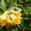 Rhododendron cristatum