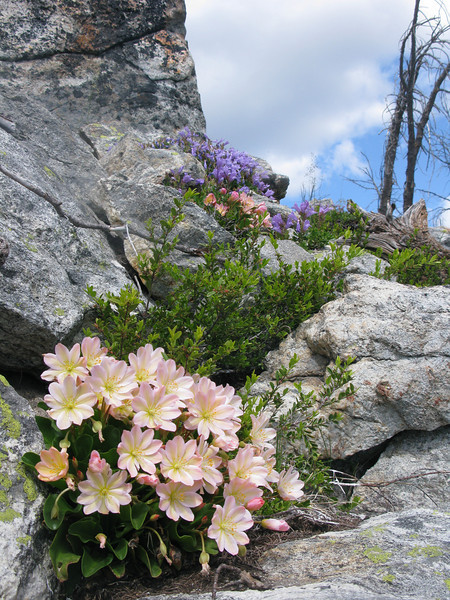 The flower in the foreground is a rare plant that only grows in a small area in central washington eastern cascades at higher elevations. I forgot its name. Flower Pic.