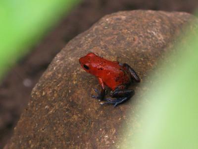 Poison Dart Frog, Costa Rica 2010.