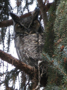 Great Horned Owl (male) Chelan Washington