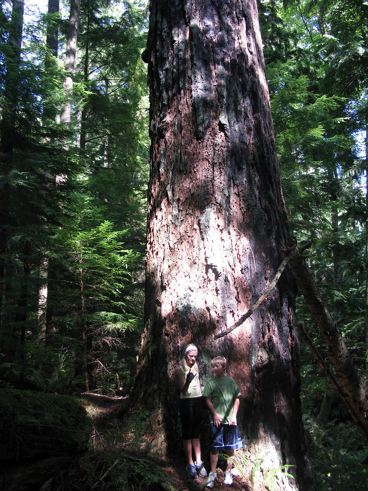 Remant Old Growth Douglas Fir on Tiger Mountain near Issaquah. This tree looms over all others by a huge margin. I measured its circumference at 27ft. Missed by most becasue of dense undergrowth, its only 40 yards off a main mt biking trail we frequent. Largest Douglas Fir I have measured so far in Seattle Area. Not sure why it was left as the area it resides has been logged at least twice. I think its safe now as modern mills are not built to accept this size of tree in Washington.