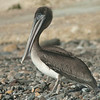 A young of the year brown pelican rests on the rocky shoreline at Cabrillo Beach in San Pedro on Wednesday, July 11, 2012. Young brown pelicans are arriving from their breeding grounds on the California Channel Islands. Photo © Bernardo Alps/PHOTOCETUS. All rights reserved.