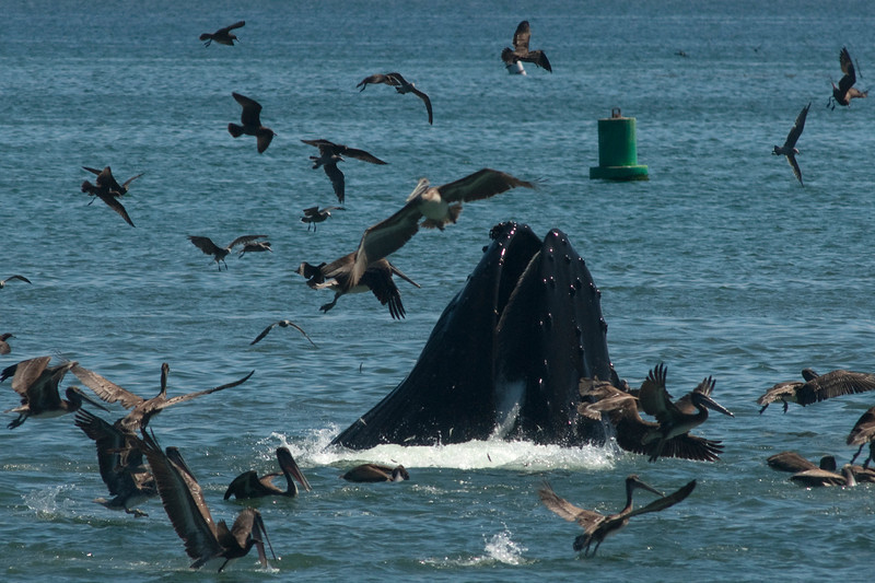 Multi species feeding frenzy in San Luis Obispo Bay, CA, August 24, 2012. Photo © Bernardo Alps/PHOTOCETUS. All rights reserved.