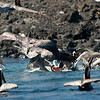 "Cabrillo Marine Aquarium ""Friendly Whales of Baja"" trip aboard the Royal Polaris, Isla San Martin, Baja California, Mexico, March 12, 2012. Photo © Bernardo Alps/PHOTOCETUS. All rights reserved."