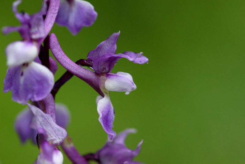 This Early Purple-Orchis (Orchis mascula) was shot with a Canon 1D, Canon 180 mm macro lens and flash. The picture was taken in highest resolution jpeg. When reviewing on the lcd screen of the camera, I noticed a color shift and decided to also make some pictures using RAW, ie without in-camera compression.