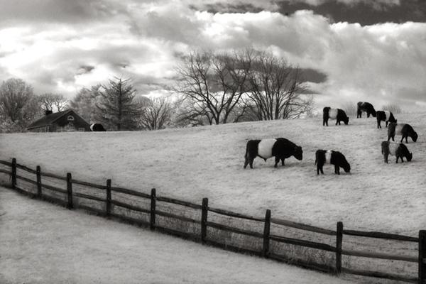 """""""Oreo Cows, Centreville, Delaware"""""""