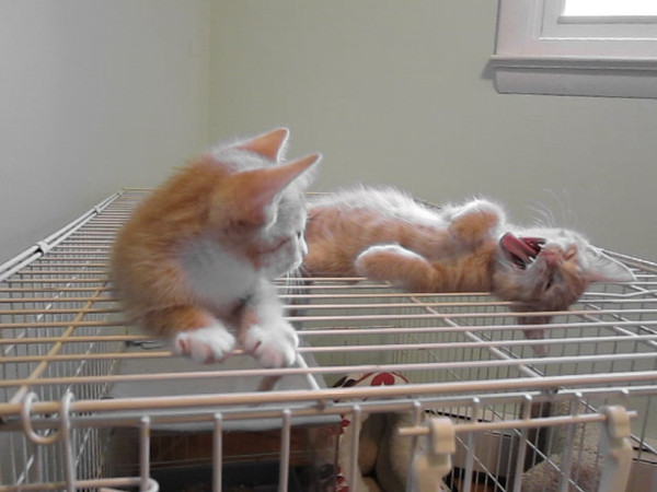 Binky, left & Rusty relaxing, then investigating the swinging camera wrist-strap(!)<br /> Eight weeks