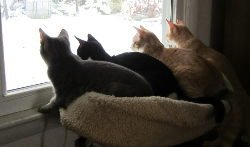 Left to right: Ellie (silver tabby, female), Clara (Black and white tuxedo, female), Binky (orange tabby with some white), and Rusty (orange tabby.)  December 2011; kittens are about 7 1/2 months old.