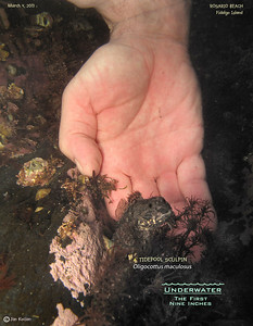 TIDEPOOL SCULPIN ( Oligottus maculosus ). Rosario Beach, Fidalgo Island. March 4, 2013