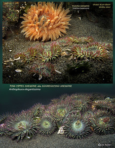 PINK-TIPPED aka AGGREGATING ANEMONE  (Anthopleura elegantissima ). Double Bluff Beach, Whidbey Island. February 1, 2013
