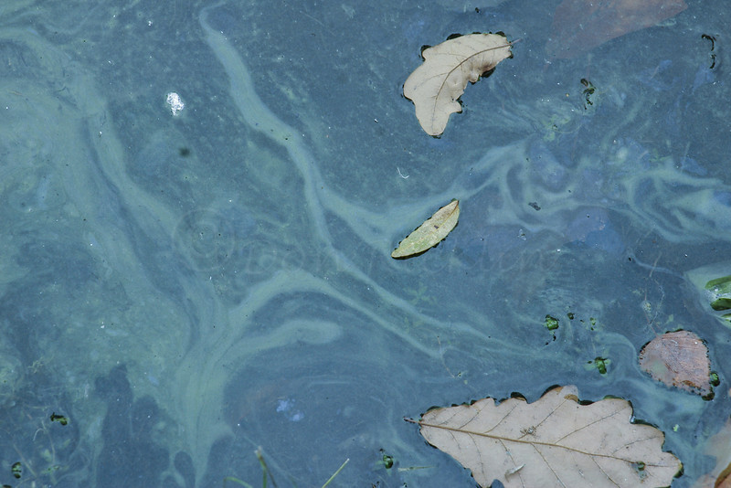 Algal patterns and White oak leaves