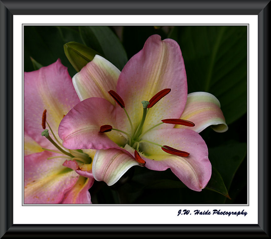 Asiatic Lily, Star Angel