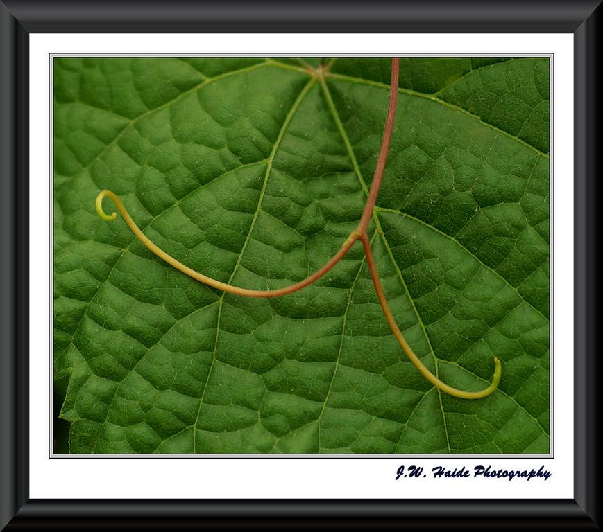 tendril and vine leaf of Grape, Glenora