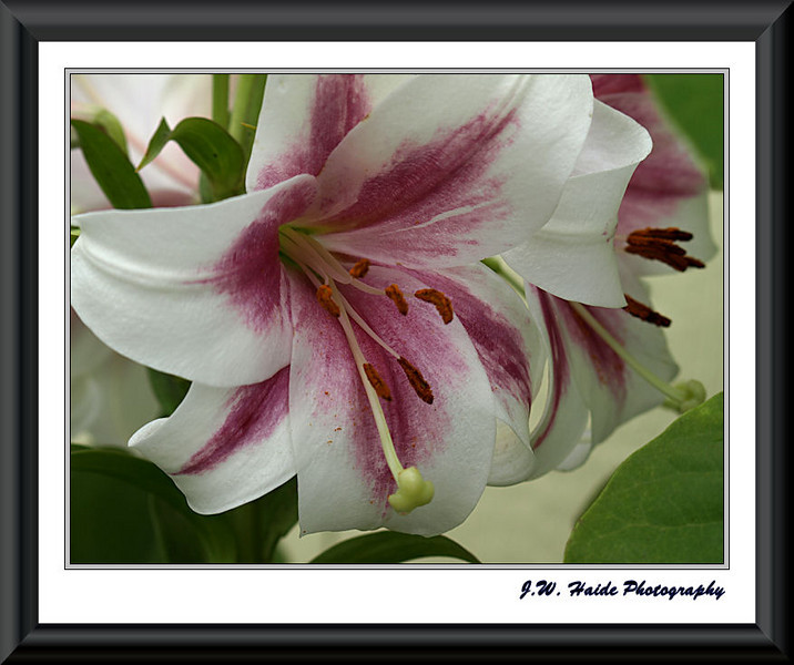 Asiatic Lily, Mona Lisa