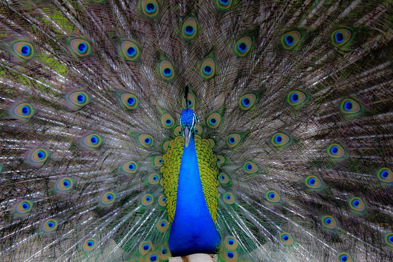 Peacock_adj