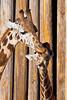 GiraffeKissingjpg