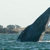 "Cabrillo Marine Aquarium ""Friendly Whales of Baja"" trip aboard the Royal Polaris, Laguna San Ignacio, Baja California Sur, Mexico, March 10, 2012. Photo © Bernardo Alps/PHOTOCETUS. All rights reserved."