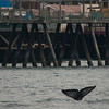 Whale watchng trip aboard the Voyager out of Redondo Beach Marina, CA, February 5, 2013. Photo © Bernardo Alps/PHOTOCETUS. All rights reserved.
