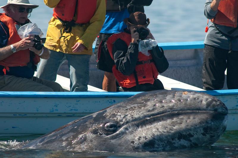 "Cabrillo Marine Aquarium ""Friendly Whales of Baja"" trip aboard the Royal Polaris, Laguna San Ignacio, Baja California Sur, Mexico, March 9, 2012. Photo © Bernardo Alps/PHOTOCETUS. All rights reserved."