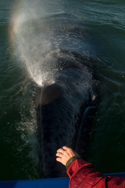"Cabrillo Marine Aquarium ""Friendly Whales of Baja"" trip aboard the Royal Polaris, Laguna San Ignacio, Baja California Sur, Mexico, March 8, 2012. Photo © Bernardo Alps/PHOTOCETUS. All rights reserved."