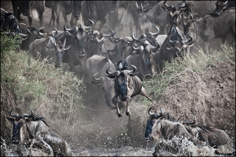 Wildebeast migration...mighty leap