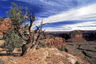 Weathered-Tree-by-Canyon